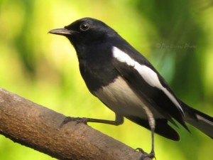 Oriental Magpie Robin - Male