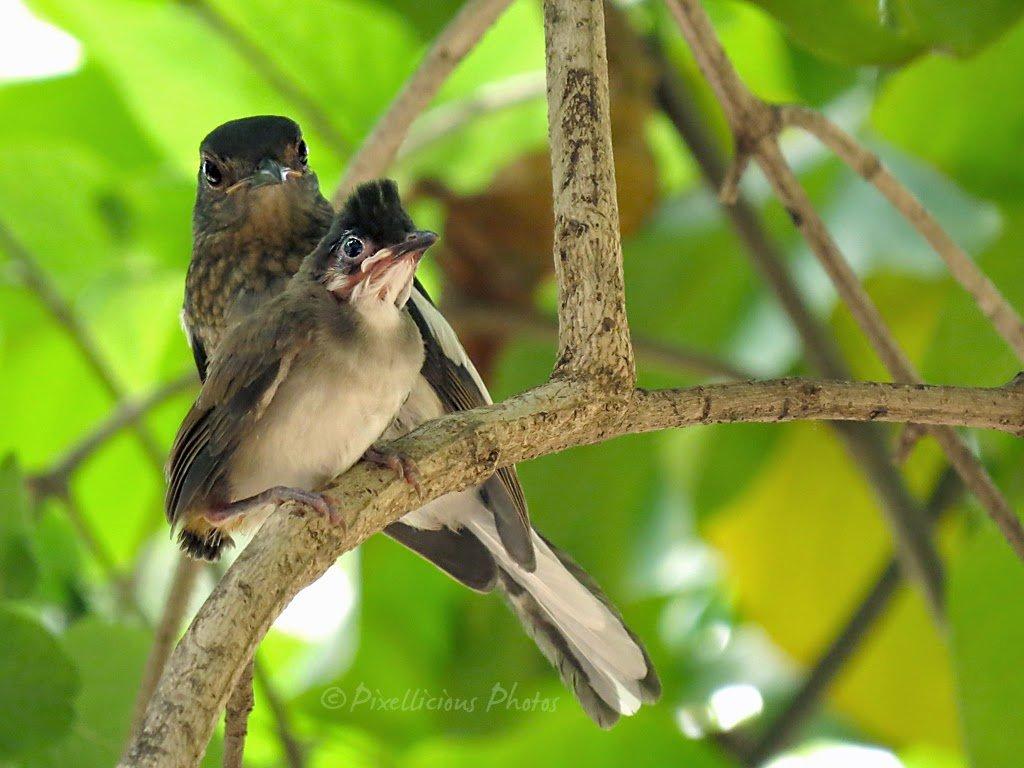 Female Oriental Magpie Robin