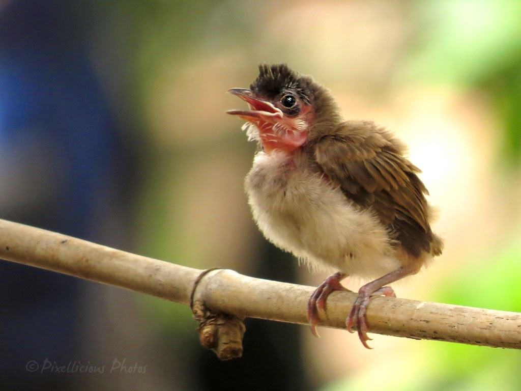 Juvenile Red Whiskered Bulbul