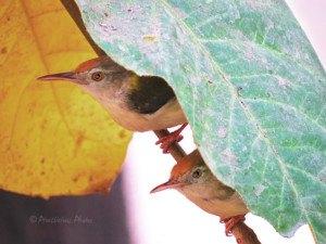 Common Tailor Birds