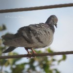 Rock Dove on a cable