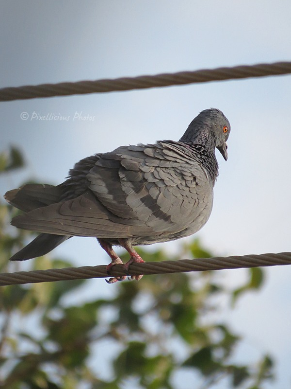 Pigeon on a cable