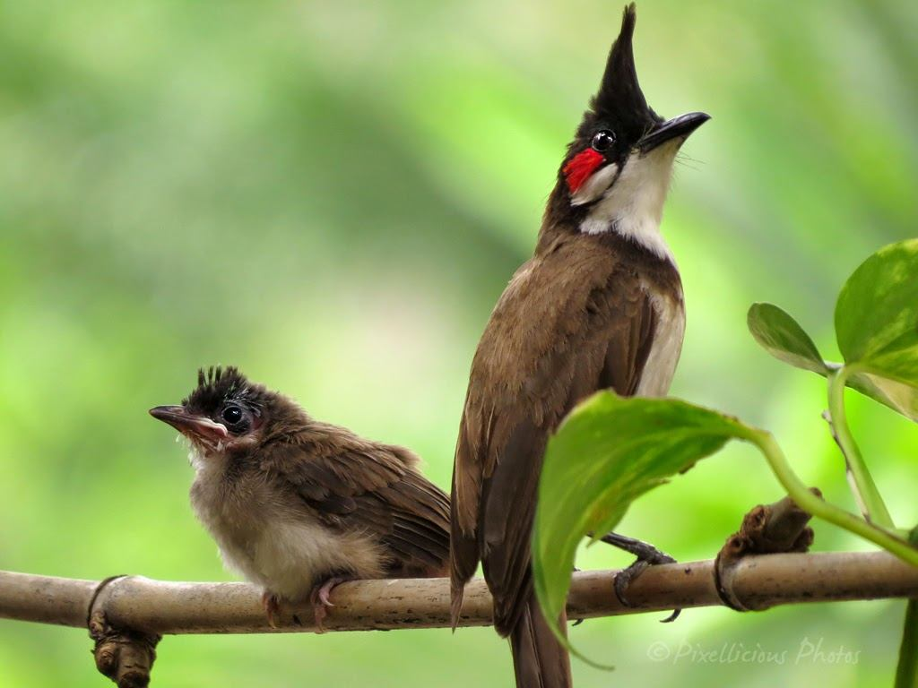 Red Whiskered Bulbul Family