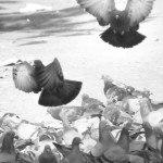 A flock of Rock Doves