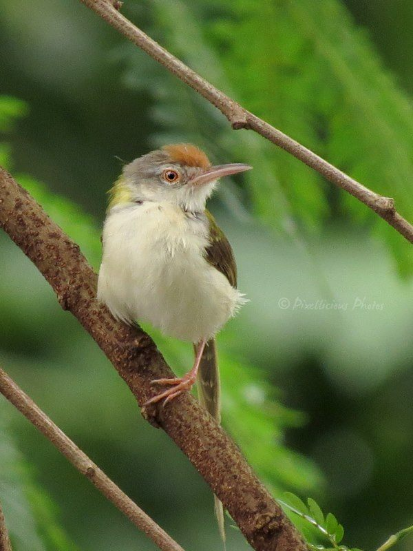 Common Tailorbirds