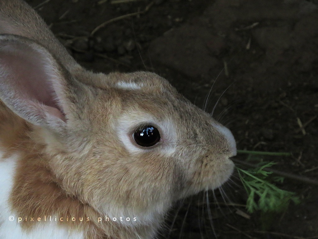 Rabbit at Save Farms - Tarpa
