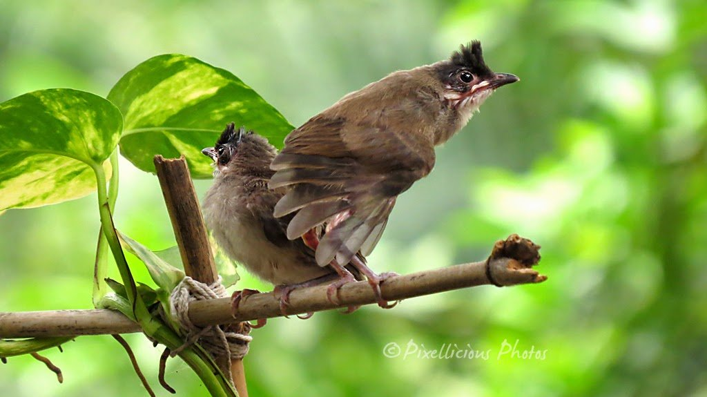 Both Juvenile Red Whiskered Bulbul Babies
