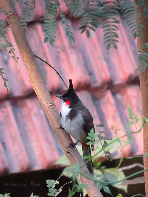 Red Whiskered Bulbul in a Residential Area