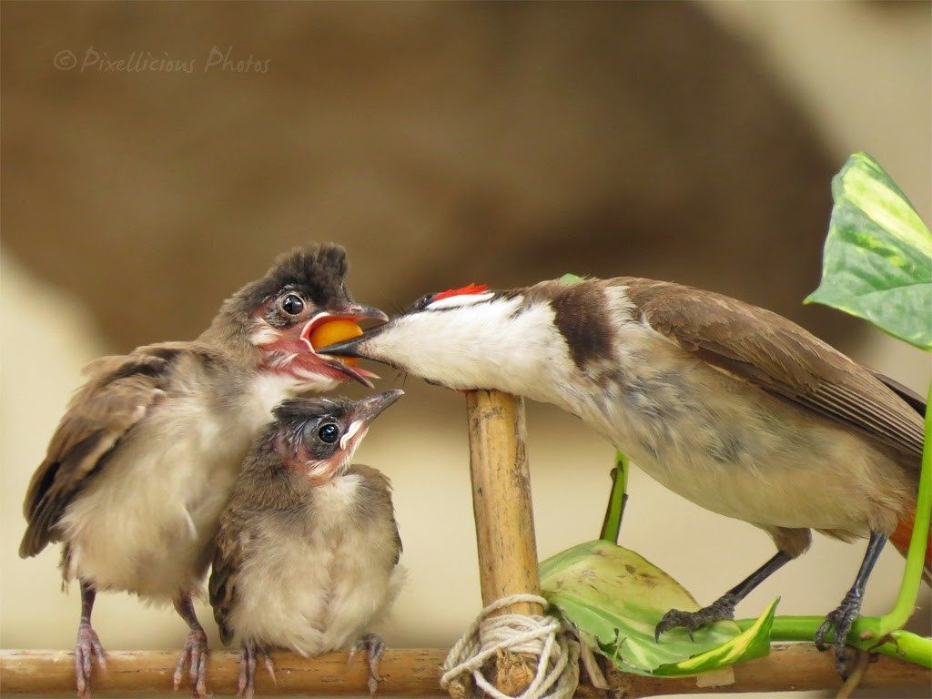 Red Whiskered Bulbul Feeding