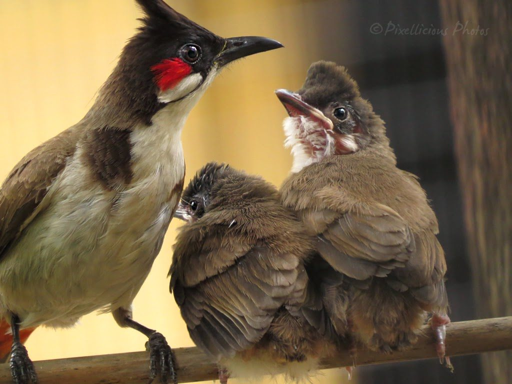 Red Whiskered Bulbul with Juveniles