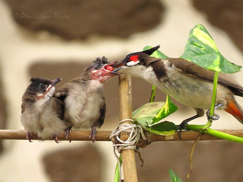 Red Whiskered Bulbul Feeding a Juvenile