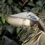 Rock Dove in Flight Mode
