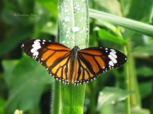 Striped Tiger Butterfly
