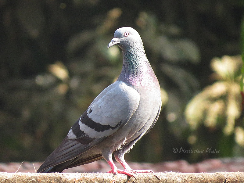 Pigeon or Rock Dove