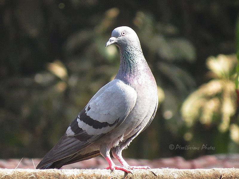 Pigeon or Rock Dove