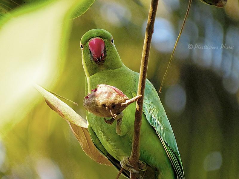Rose Ringed Parakeet - Female