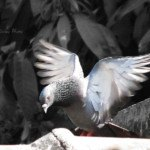Dove with Wings Spread