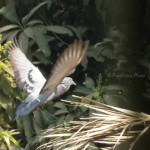 Dove in Flight Mode