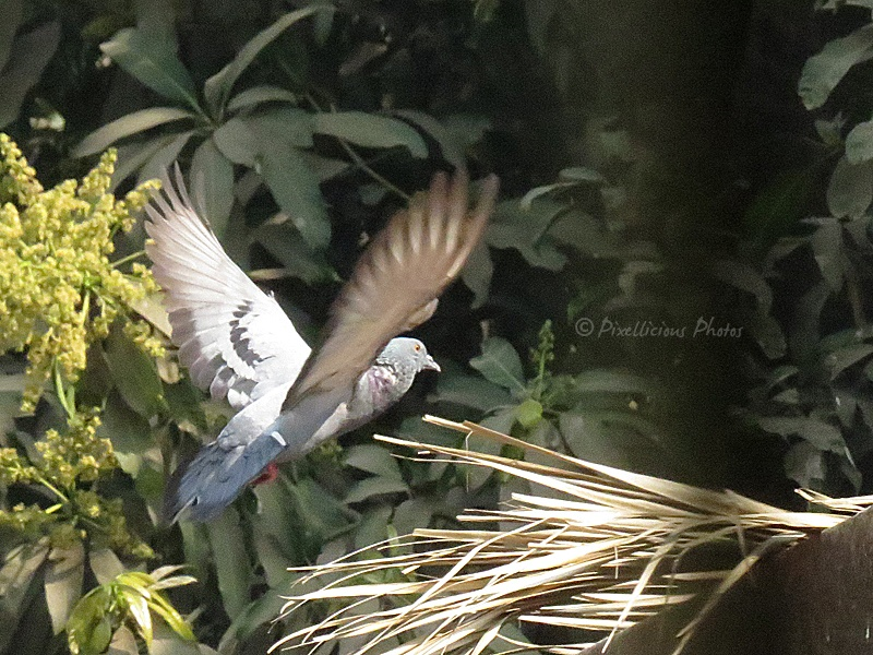 Pigeon in Flight Mode