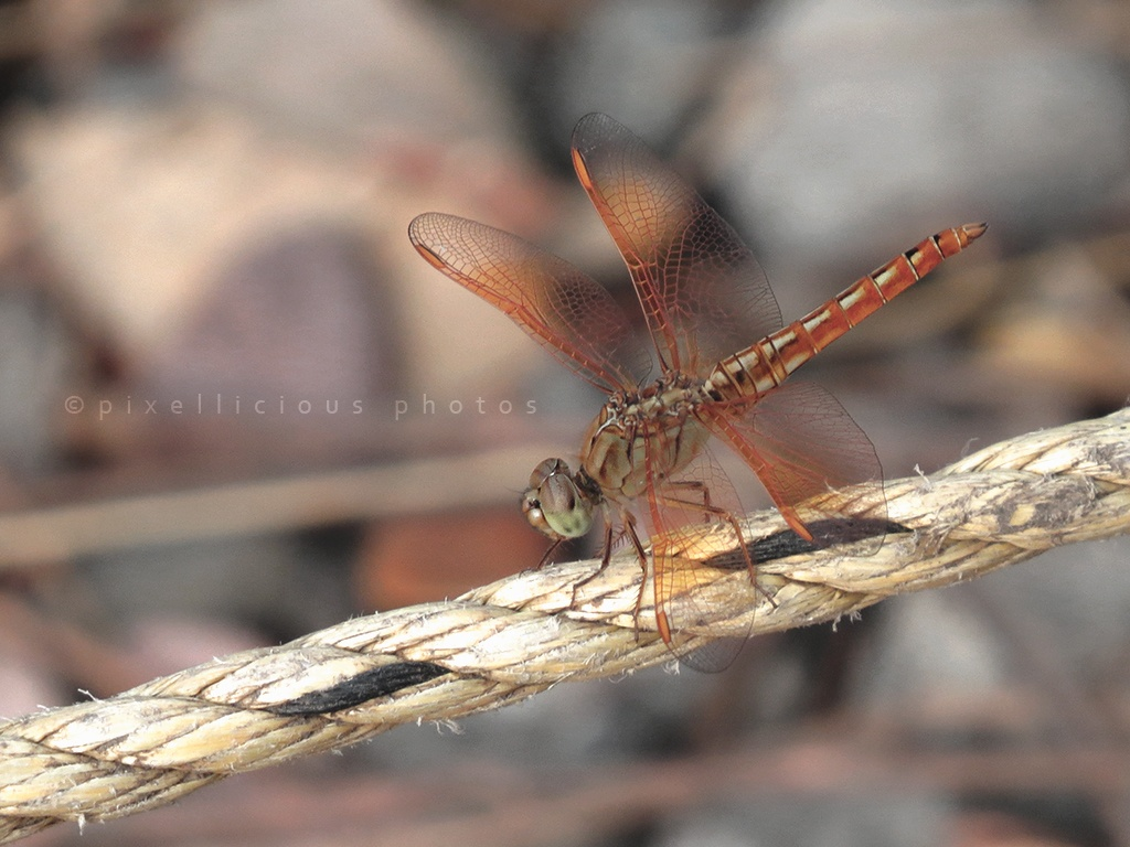 A Dragon Fly - Save Farms - Tarpa