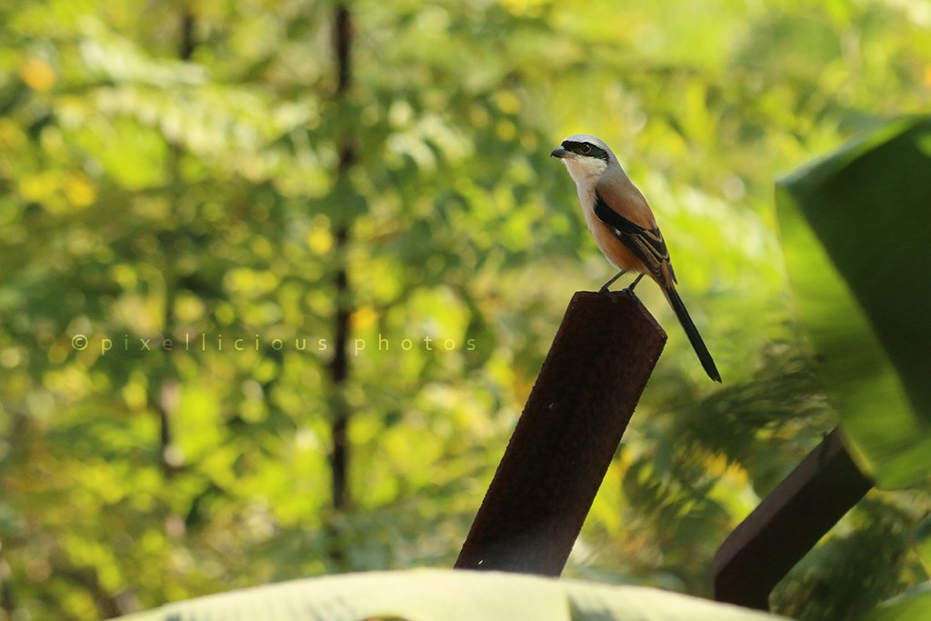 Long Tailed Shrike at Majhya Mamacha Gaon