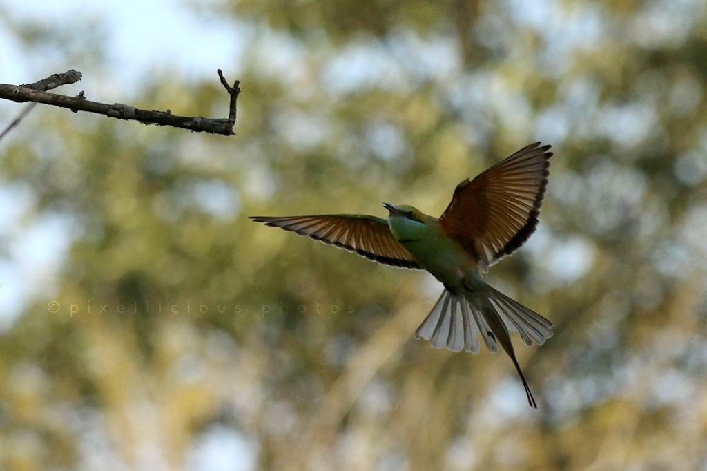 Green Bee Eater at Majhya Mamacha Gaon