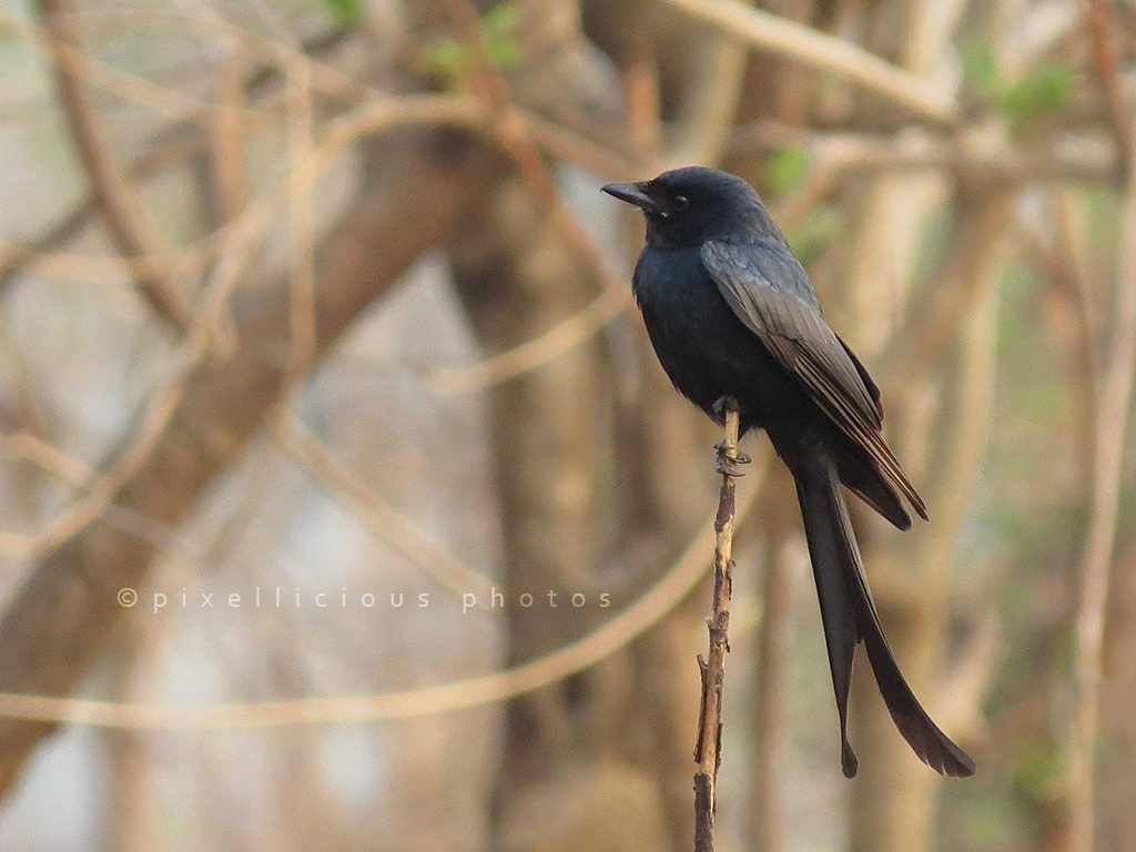 Black Drongo at Majhya Mamacha Gaon