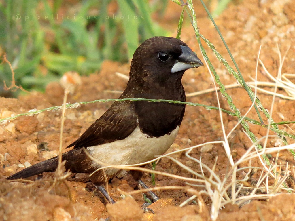 Magpie Munia at Majhya Mamacha Gaon