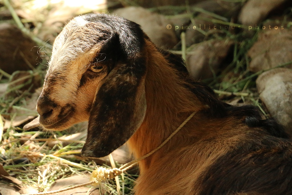 A Goat at Save Farms - Tarpa