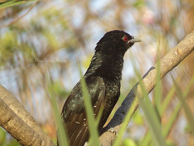 Asiatic Koel Male at Aksa Beach