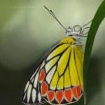 Common Jezebel Butterfly shot at Deonar