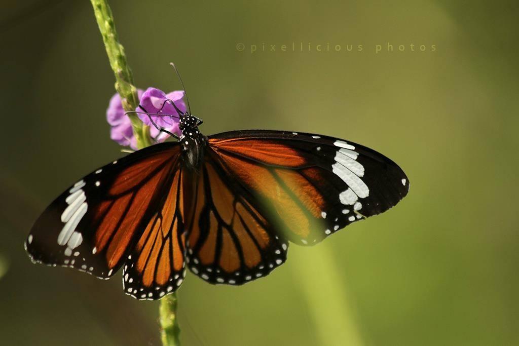 Striped Tiger Butterfly shot at Owalekar Wadi