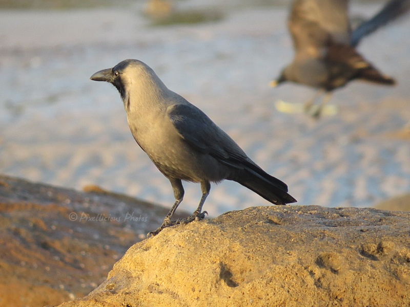 House Crow or Common Crow