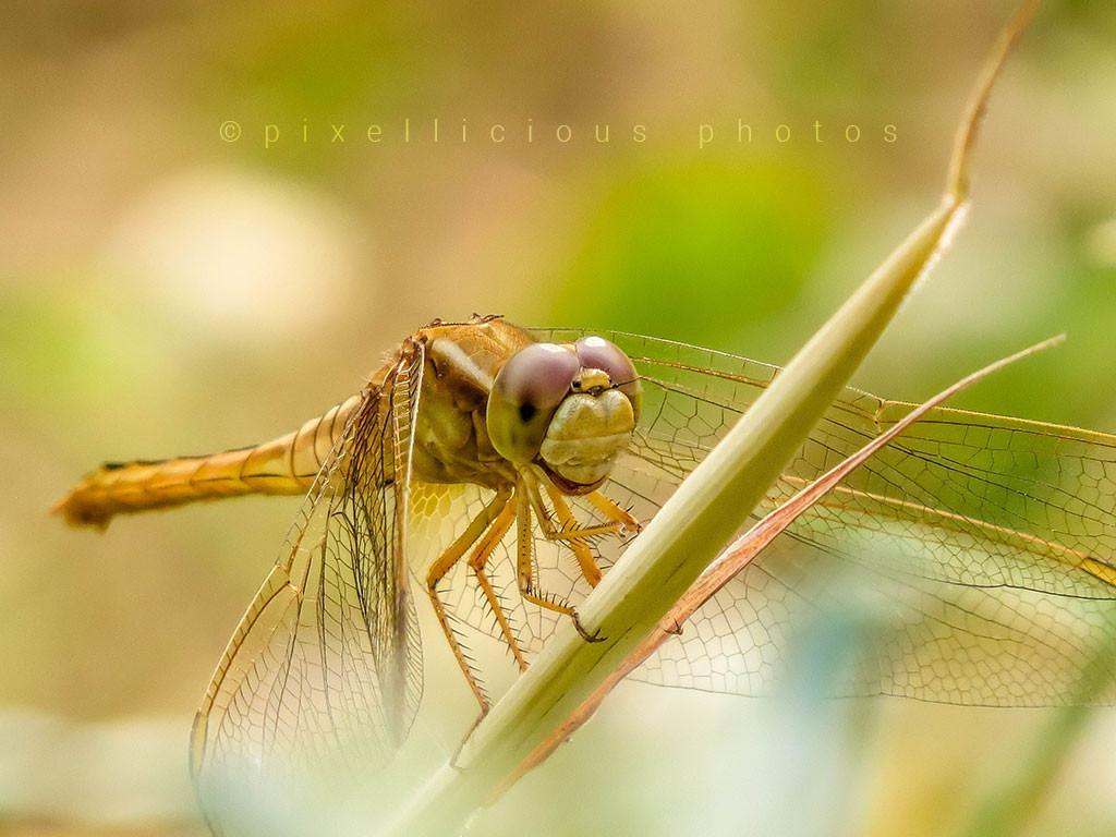 Dragonfly Shot at Deonar, Mumbai