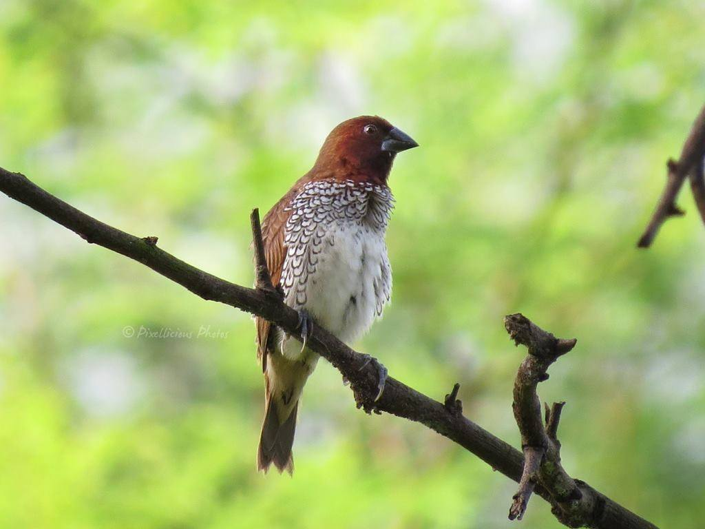 Scaly Breasted Munia | Bird Photography