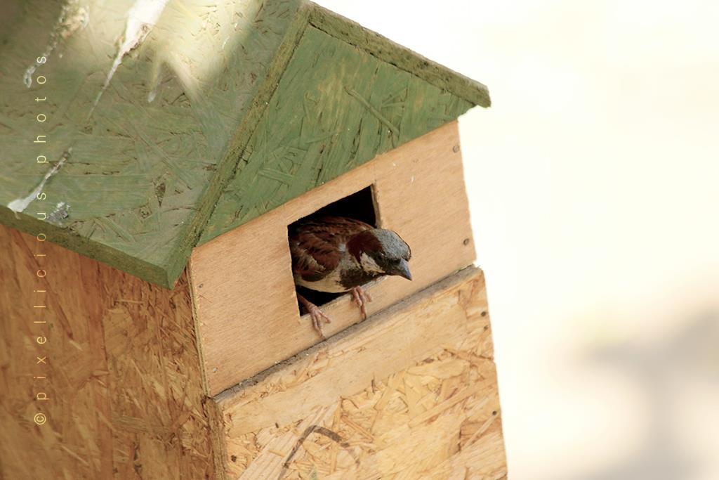 Sparrow in a Bird House