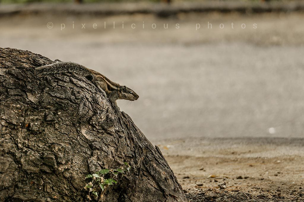 Photo of Indian Palm Squirrel Shot at Ellora, Aurangabad