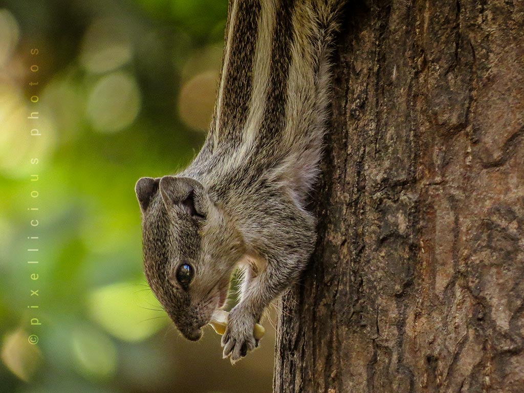 Photo of Indian Palm Squirrel in a Garden